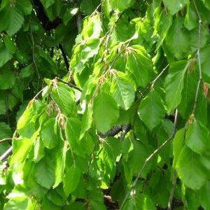 Beech (Fagus syl.)