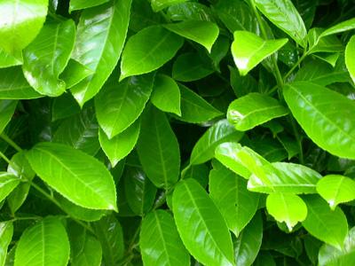 Laurel (Prunus laurs. Rotundifolia