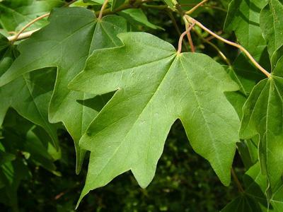 Maple (Acer campestre)